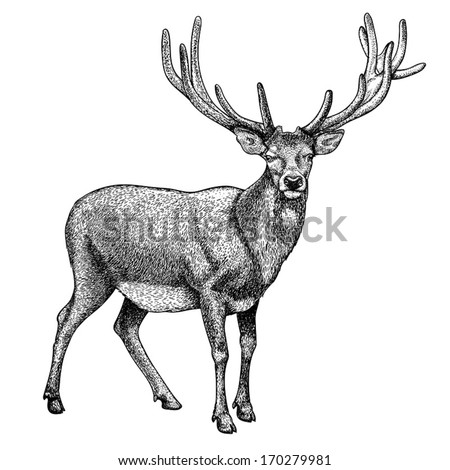 Antique print of a reindeer, isolated on white.  - stock vector