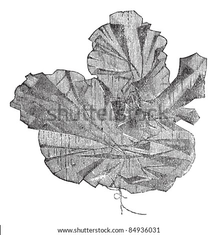 Aonori or Ulva latissima, vintage engraved illustration. Trousset encyclopedia (1886 - 1891). - stock vector
