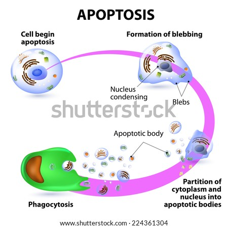 Apoptosis process programmed cell death vector stock vector royalty apoptosis is the process of programmed cell death vector diagram ccuart Image collections