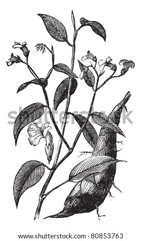 Arrowroot or Maranta arundinacea or Obedience plant, vintage engraving. Old engraved illustration of Arrowroot isolated on a white background. Trousset encyclopedia (1886 - 1891).