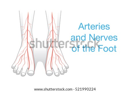 Arteries Nerves Foot This Illustration Human Stock Vector 521990224 ...