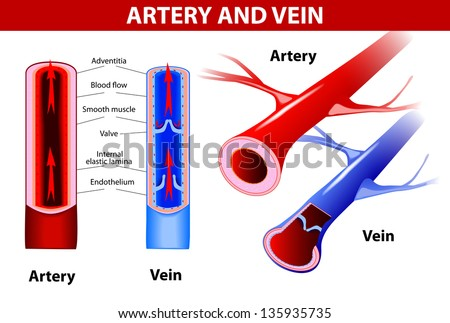 artery and vein. Circulatory system. Vector. Red indicates oxygenated blood, blue indicates deoxygenated - stock vector