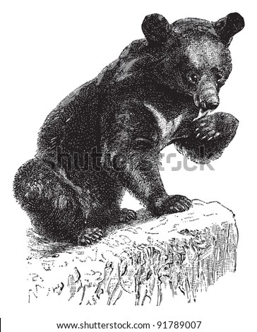 Asian black bear (Ursus thibetanus) / vintage illustration from Meyers Konversations-Lexikon 1897
