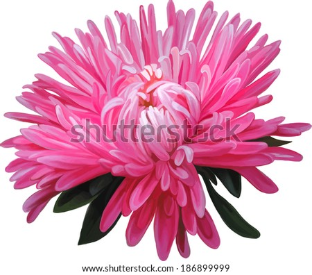 Aster. Pink flower, Spring flower.Isolated on white background.