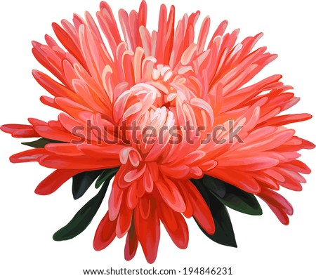 Aster. Red flower, Spring flower.Isolated on white background.