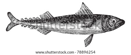 Atlantic mackerel or Scomber scombrus or Boston mackerel or Mackerel, vintage engraving. Old illustration of Atlantic mackerel isolated on a white background.  Trousset encyclopedia (1886 - 1891). - stock vector