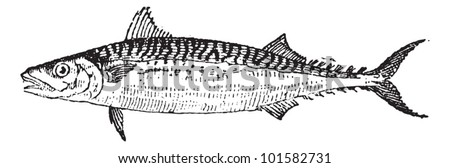 Atlantic Mackerel or Scomber scombrus, vintage engraved illustration. Dictionary of Words and Things - Larive and Fleury - 1895 - stock vector