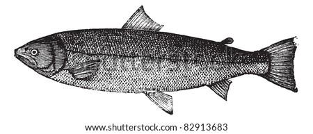 Atlantic salmon, Salmon salar, Bay salmon, Black salmon, Caplin-scull salmon, Fiddler, Grilse , Grilt, Kelt, Slink, Smolt, Sebago salmon, Winnish or Landlocked salmon engraving. Trousset 1886 - 1891 - stock vector