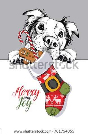 Australian shepherd in a big Santa's cap with a Christmas sock and a sweet Gingerbread man and lollipop. Vector illustration.