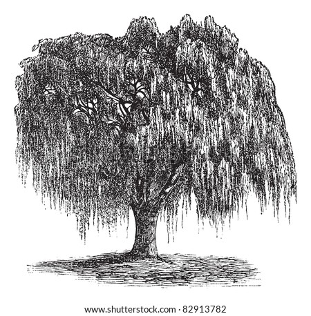 Old Willow Tree Drawing Old Babylon Willow