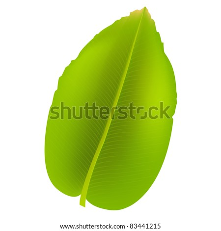 Banana Leaf Illustration Banana Leaf Isolated on White
