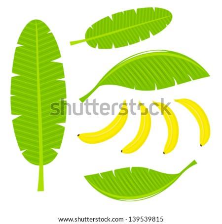 Banana leaves and fruits. Vector illustration - stock vector