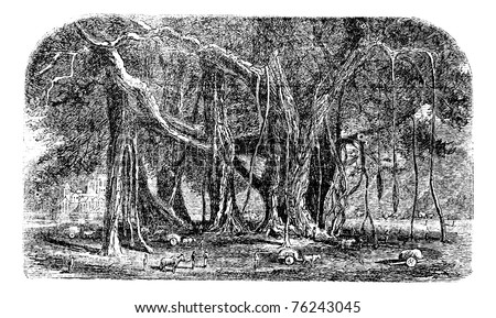 Banyan or Ficus benghalensis, vintage engraving. Old engraved illustration of a large Banyan tree showing aerial roots. - stock vector