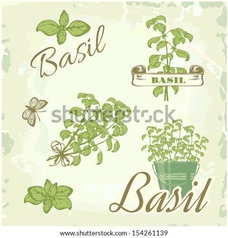 Basil, herb, plant, nature, vintage background, packaging calligraphy - stock vector