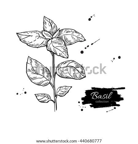 how to cut basilic plant