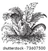 Bear's breeches or Acanthus mollis plant vintage engraving. Old engraved Illustration, from Trousset Encyclopedia, 1886- 1891. - stock vector