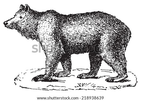 Bear, vintage engraved illustration. Dictionary of words and things - Larive and Fleury - 1895. - stock vector
