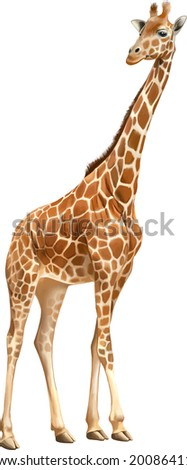 Beautiful adult Giraffe looking at us, illustration isolated on white