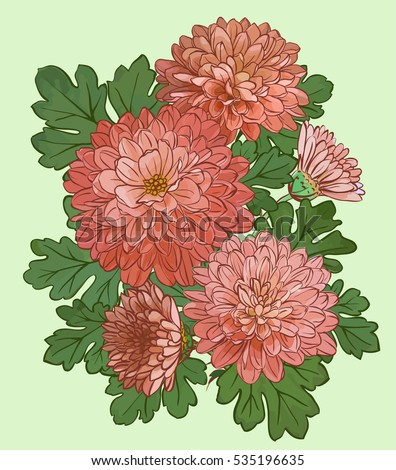 Beautiful chrysanthemum flowers isolated on green background