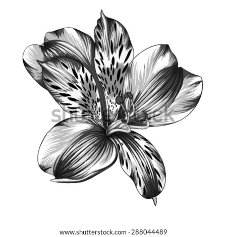 beautiful monochrome, black and white Alstroemeria flower with watercolor effect isolated on background. for greeting card and invitations of wedding, birthday, mother's day and other seasonal holiday - stock vector