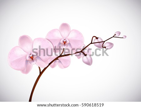 Beautiful three day old pink Orchids flowers in branch isolated on background. Orchid flower closeup.