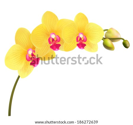 Beautiful tropical branch of yellow orchid phalaenopsis isolated on a white background. Flowers detailed vector design illustration