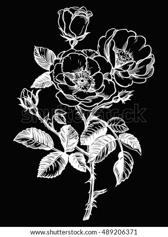 Beautiful wild rose. Isolated vintage style vector illustration.