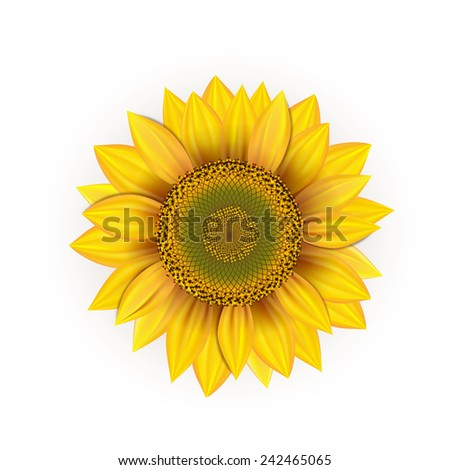 Beautiful, yellow sunflower on a white background