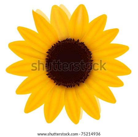 Beautiful yellow Sunflower. Vector illustration - stock vector