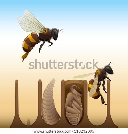 Bee Life Cycle - Egg, Larva, Pupa, Adult - stock vector