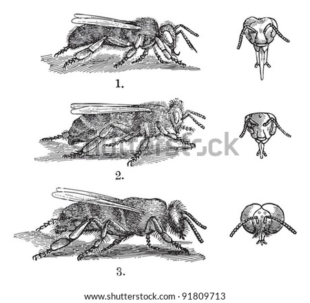 Bee - 1. worker - 2. queen - 3. drone (male) / illustrations from Meyers Konversations-Lexikon 1897 - stock vector