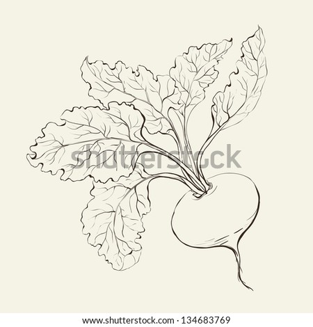 Beet root isolated on white. Vector illustration. - stock vector