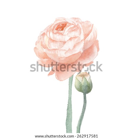 Beige ranunculus flowers. Watercolor hand drawn floral artwork isolated on white background. Vector botanical illustration - stock vector