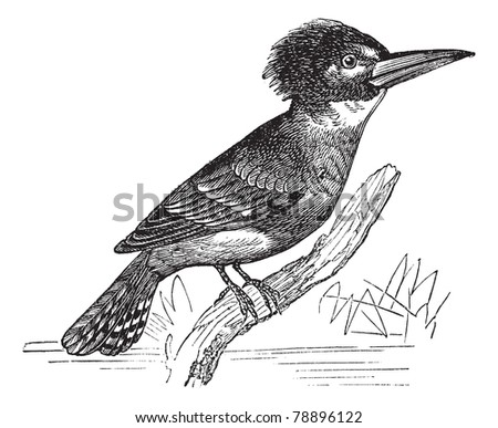 Belted Kingfisher or Megaceryle alcyon or Ceryle alcyon, vintage engraving. Old engraved illustration of Belted Kingfisher (male) waiting on a branch.  Trousset encyclopedia (1886 - 1891)