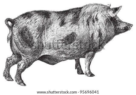 Berkshire pig / vintage illustration from Meyers Konversations-Lexikon 1897 - stock vector