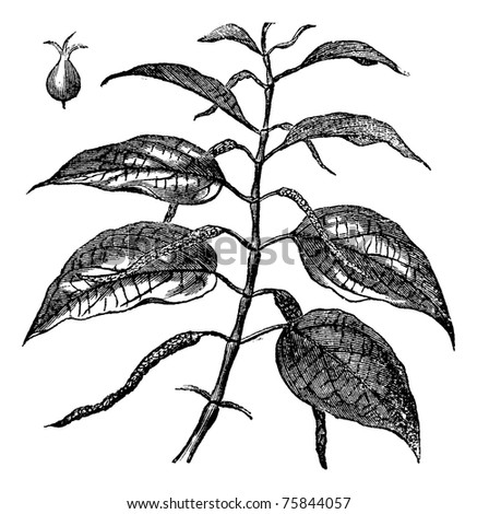 Betel also known as Piper betle, leaves, vintage engraved illustration of Betel leaves. - stock vector
