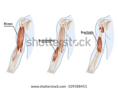 Biceps Brachii Brachioradial Brachialis Muscles Didactic Stock ...