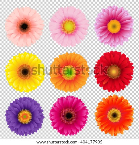 Big Colorful Gerbers Set, Isolated on Transparent Background, With Gradient Mesh, Vector Illustration - stock vector