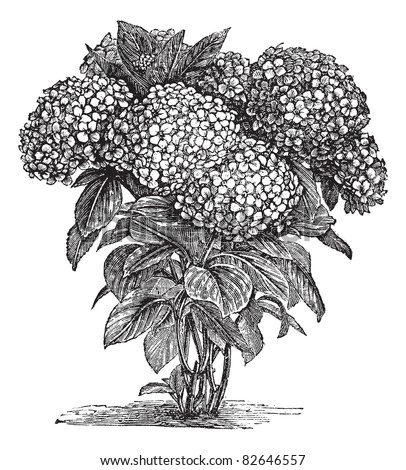 Bigleaf Hydrangea or Hydrangea macrophylla or French Hydrangea or Lacecap Hydrangea or Mophead Hydrangea or Penny Mac or Hortensia, vintage engraving.Trousset encyclopedia (1886 - 1891). - stock vector