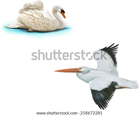 Bird swan swims, American White Pelican, isolated on white background - stock vector