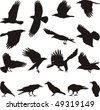black isolated silhouettes of carrion crow on the white background - stock vector