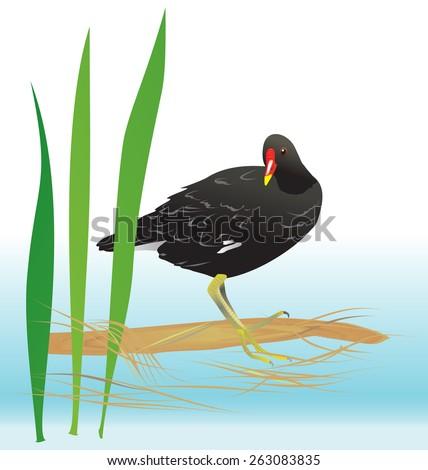 Black moorhen standing in its habitat. Vector illustration. - stock vector