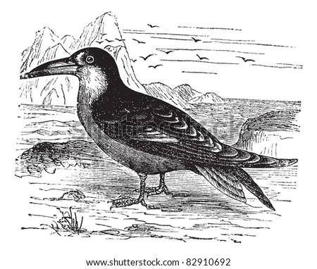 Black Skimmer or Rynchops niger, vintage engraving. Old engraved illustration of Black Skimmer in the meadow. Trousset encyclopedia (1886 - 1891). - stock vector