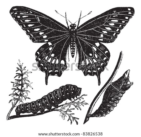 Black Swallowtail Butterfly or Papilio polyxenes, vintage engraved illustration. Trousset encyclopedia (1886 - 1891). - stock vector