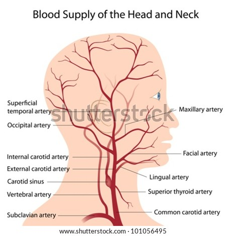 Blood supply of the head and neck - stock vector