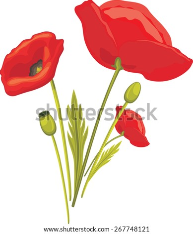 Blooming red poppy isolated on the white. Vector - stock vector