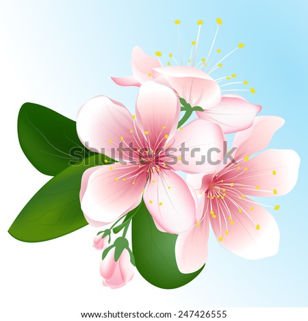 Blooming sakura isolated on blue background. Vector inflorescence of cherry. - stock vector