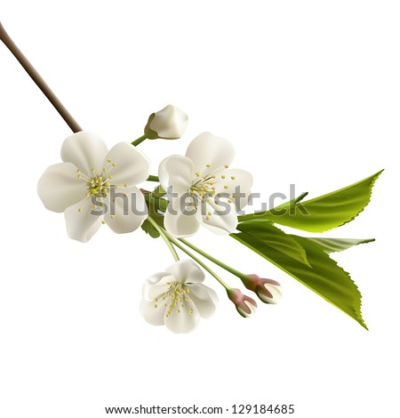 Blossoming cherry branch with white flowers. Realistic vector illustration - stock vector