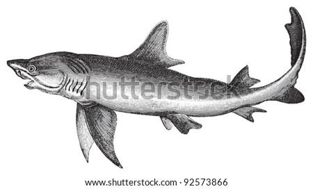 Blue shark (Carcharias glaucus) / vintage illustration from Meyers Konversations-Lexikon 1897 - stock vector