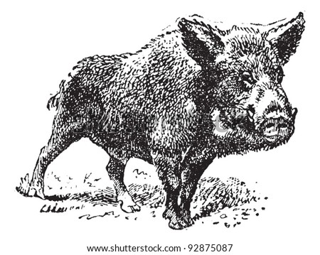 Boar or wild pig, vintage engraved illustration. Dictionary of words and things - Larive and Fleury - 1895. - stock vector